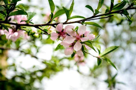 fiore di pesco significato significato dei fiori il pesco pollicegreen