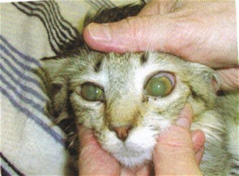 histoplasmosis in dogs histoplasma spp cat