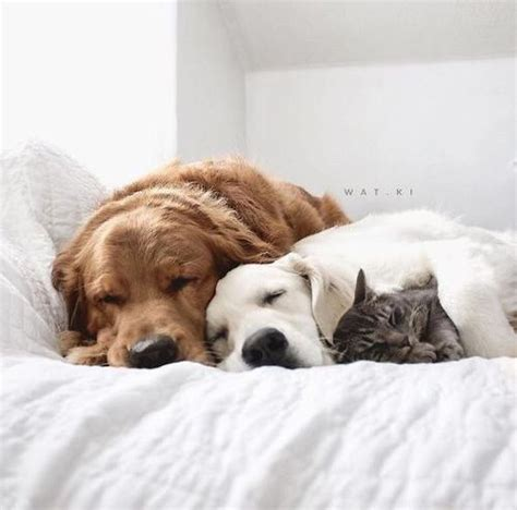 two dogs and a cat two dogs and a cat napping together on a bed luvbat