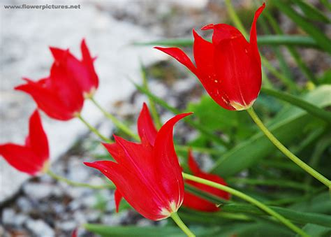 Pictures Of Gardens by Tulip Flowers In Missouri Usa