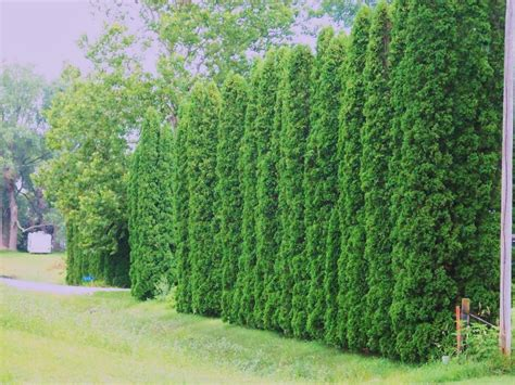 Trees For Backyard Privacy by Privacy Trees Arborvitae Providing Some Real Dense And
