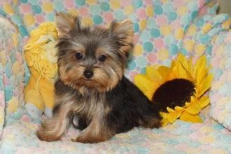 puppies for sale pittsburgh pa maltese puppies 5 morkie puppies for sale in pittsburgh pa biological science