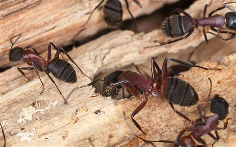 carpenter ants dead on floor 4 types of ants in columbia md and how to get rid of them