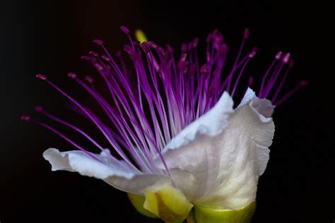 fiore di cappero il cappero in fiore juzaphoto