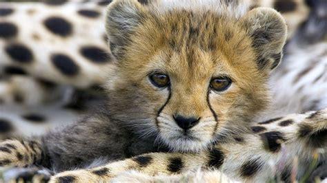 wallpaper of cute animals baby cheetah wallpapers baby animals