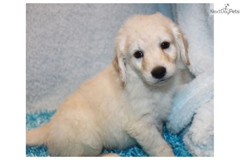that looks like a mini golden retriever meet jake a goldendoodle puppy for sale for 650 jake looks like a mini golden