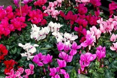 cyclamen color cyclamen plant care how to grow colorful cyclamen