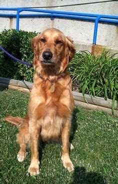 golden retriever rescue adoption of needy dogs golden retriever on golden retrievers golden retriever puppies and puppys