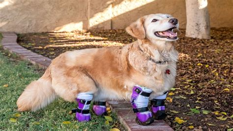 arizona golden retriever golden retriever walks with prosthetics after utation marketwatch