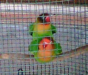 Serat Kayu Tempat Sarang Bertelur Burung dunia lovebirds penangkaran lovebird