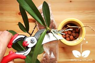 how to plant an orchid keiki mrbrownthumb