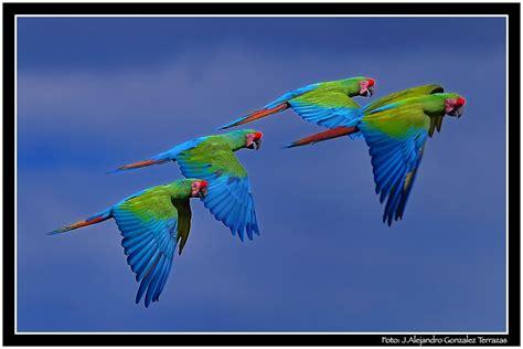 imagenes guacamayas verdes green macaws flock parvada de guacamayas verdes