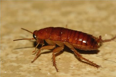 best cockroach the best ways to kill roaches ehow