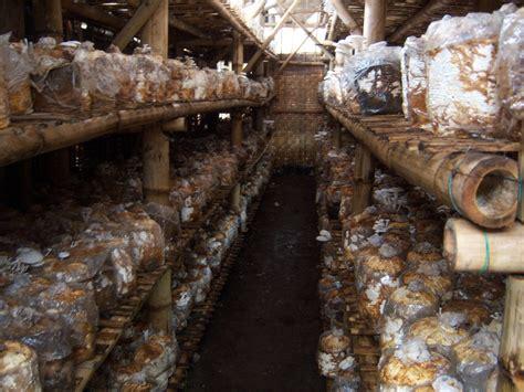 rumah jamur kumbung jual bibit     baglog