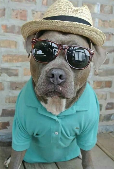 cool pit he s cool pit bull