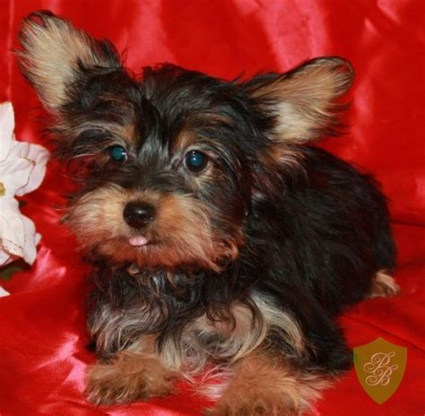 yorkie puppies for sale in denver puppies for sale colorado yorkie breeders my puppies yorkie breeders