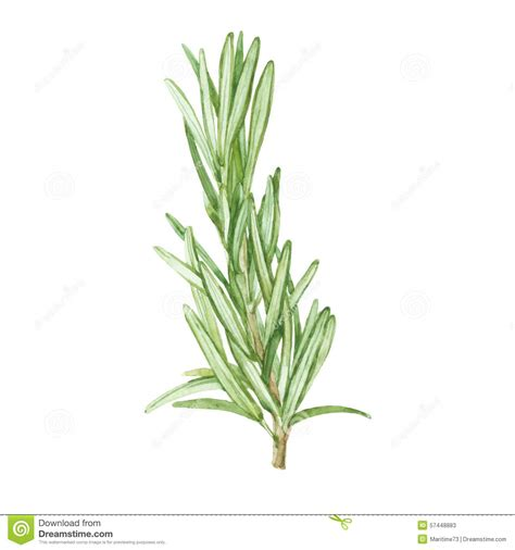 Rosemary On White Background. Vector, Watercolor Hand