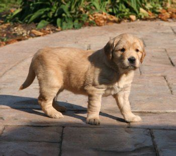 golden retriever speaker golden retriever puppies speaker x hilfy litter 3