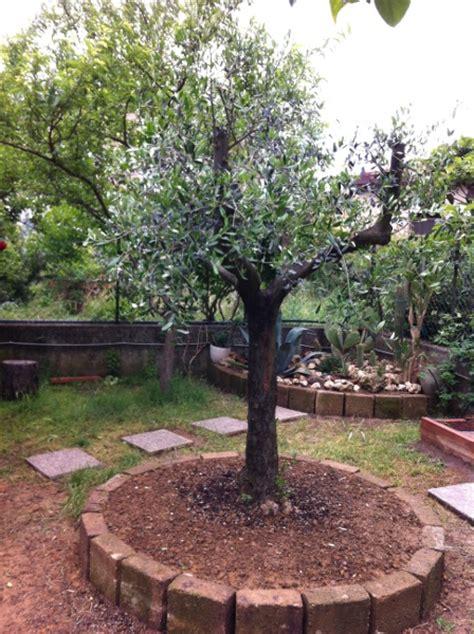 ulivo giardino olivo danneggiato forum giardinaggio