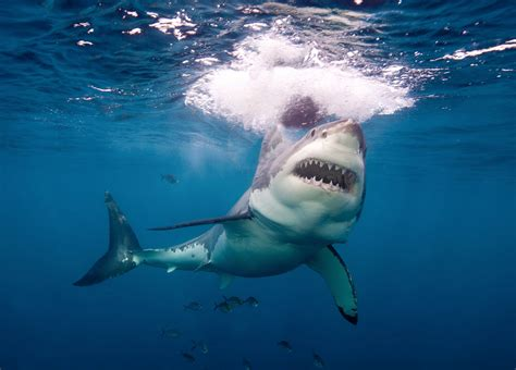 the shark in the great white shark photos and images abc news