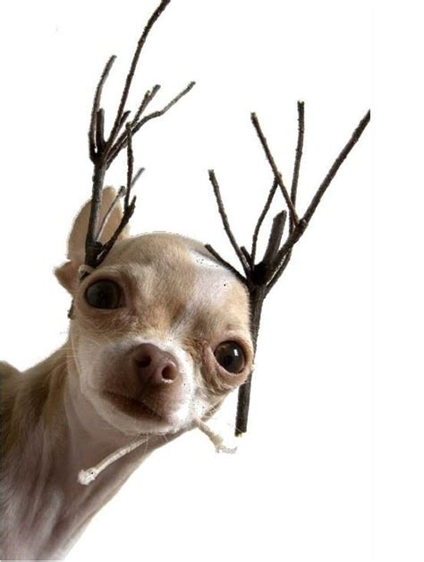 merry christmas reindeer chihuahua  stick antlers cute cute funny dog animal