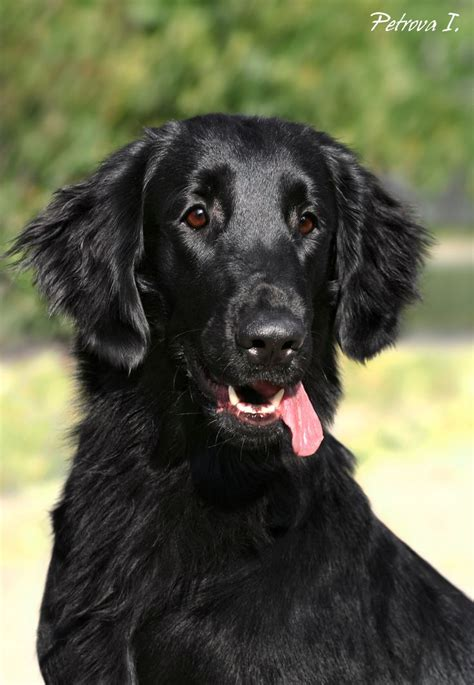 flat coated retrievers flat 1000 images about flat coated retrievers on
