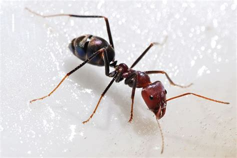 Ants In Kitchen by How To Get Rid Of Ants In Kitchen Home Remedies