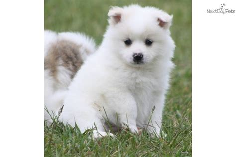 american eskimo puppy for sale american eskimo puppy for sale near grand rapids michigan d87077fb d261