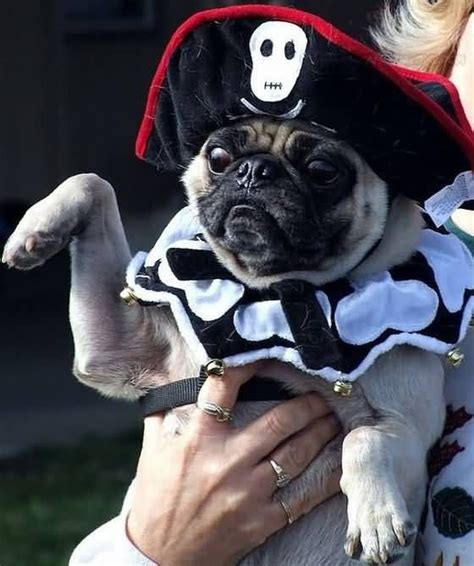 pug pirate costume 1000 images about pugs in costume on