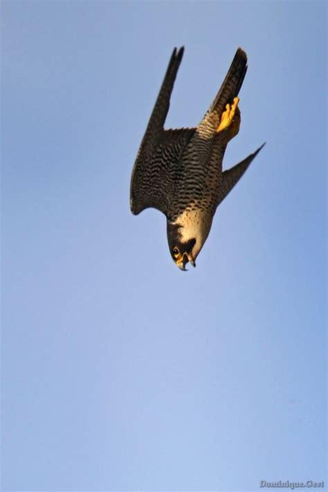 education  la nature faucon pelerin ekolien curieux