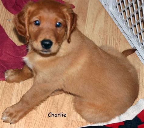 golden retriever club wisconsin golden retriever mix puppies for sale in wi dogs in our photo