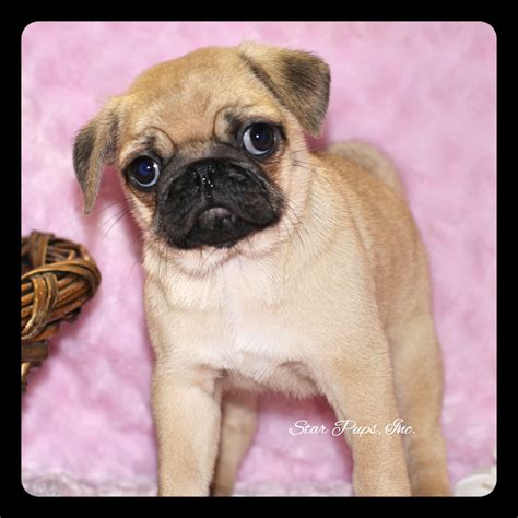 pug products shop pug f fawn sold pups