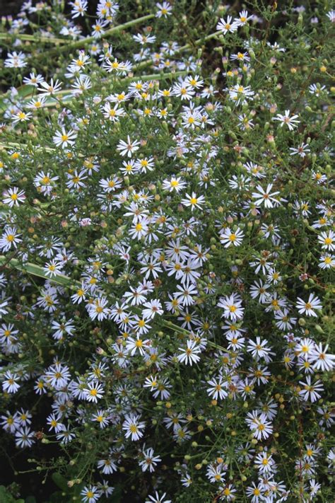 aster pilosus frost aster