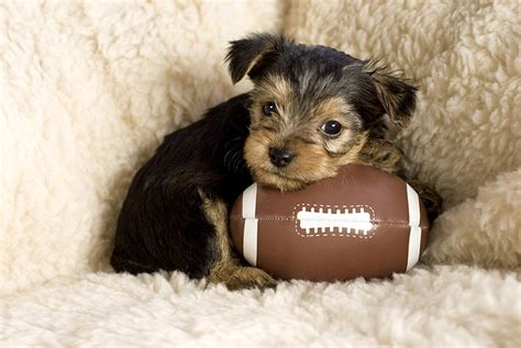 puppy football are you the bowl or the puppy bowl the blogthings