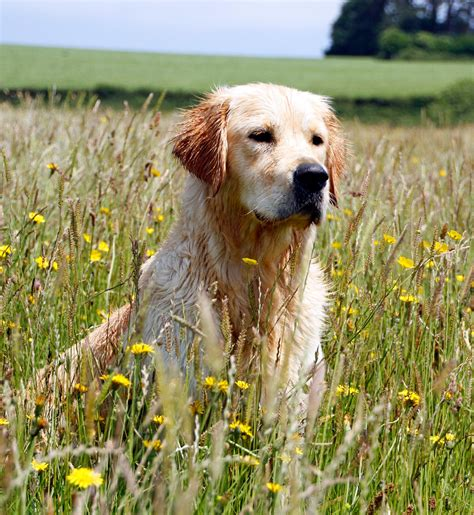 stormerick golden retrievers cornfields calacarey golden retrievers