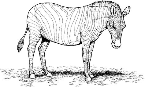 zebra coloring pages free printable zebra coloring pages