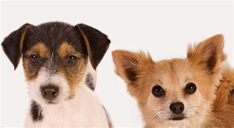 alimentazione cani piccola taglia di taglia piccola 5 cose da sapere su cibo e