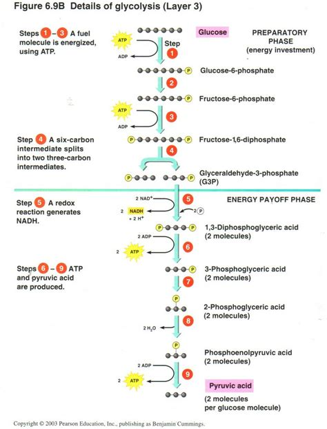 glycolysis diagram diagram of glycolysis 28 images simple glycolysis