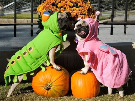 pug pumpkin costume pugs in costumes photo and wallpaper beautiful pugs in costumes