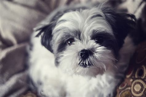 tibetan shih tzu 7 most popular dogs in canada researchvit consulting inc researchvit consulting inc