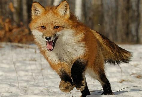 imagenes de zorros tristes enciclopedia animal animales del bosque zorro com 250 n o