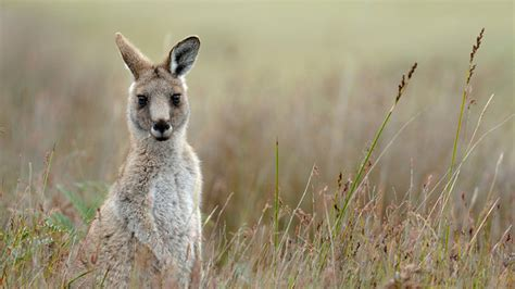 8 Animals From Australia Id To See by Australian Animals