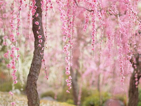 japanese blossom tree 21 of the most beautiful japanese cherry blossom photos of