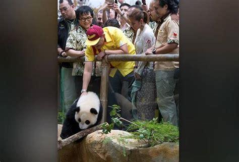 baby new year malaysia baby panda nuan nuan may be sent to china at two years