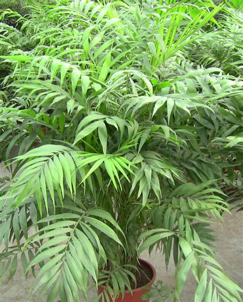 chamaedorea elegans big plants pinterest