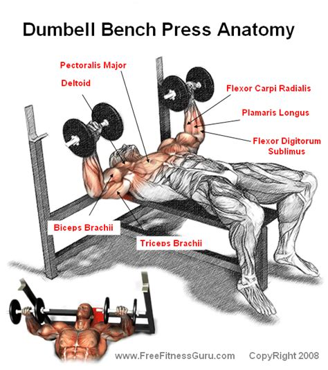 muscles used when bench pressing dumbell bench press anatomy weight lifting exercises