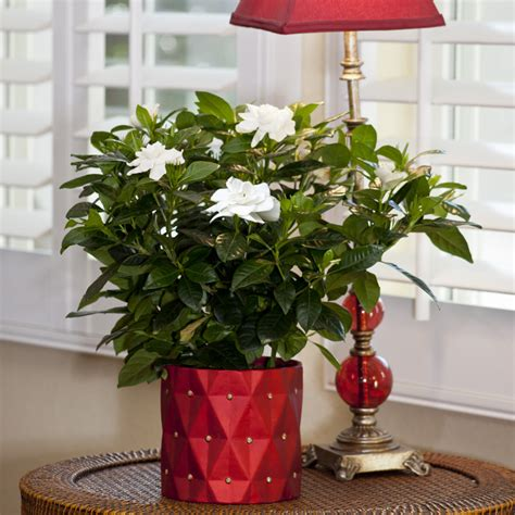 fragrant container plants large fragrant gardenia in elegance container flowering