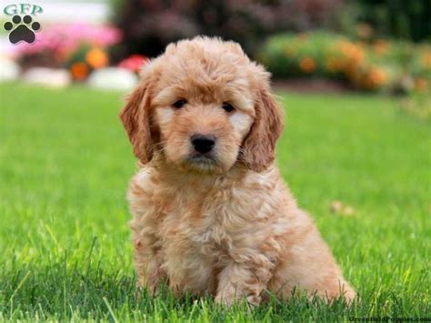 Goldendoodle Puppy Wallpapers Custom Hd 50 Goldendoodle