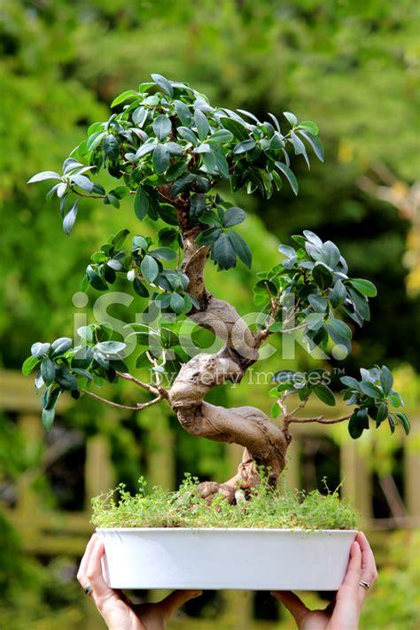 Ginseng Han s f 246 rmige bonsai feigenbaum ficus microcarpa ginseng