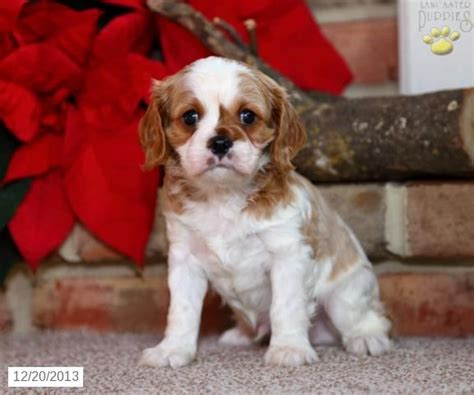 lancaster puppies pin by lancaster puppies on cavalier king charles spaniel puppies p